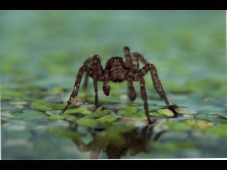 Araignée marchant sur l'eau