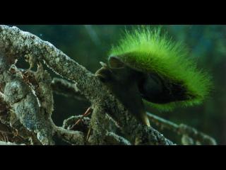 Escargot de mer dont la coquille est recouverte d'algues