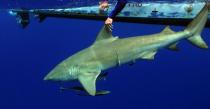 Marquage d'un requin Bouledogue
