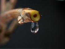 Du bourgeon au raisin - © INRA / Supagro Montpellier